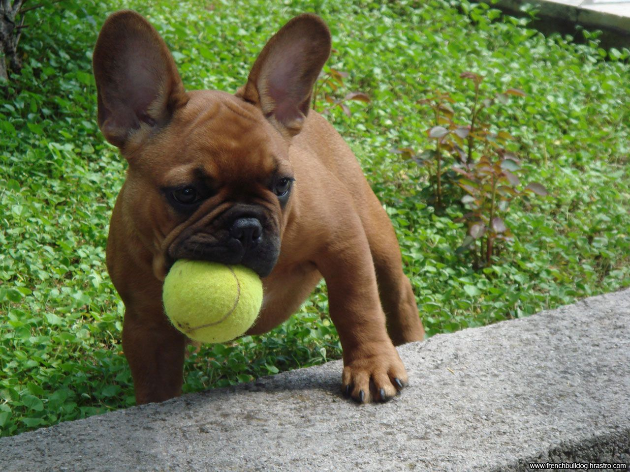 That Tennis Ball Is Almost As Big As Him Puppy Frenchie Frenchbulldog Adorable French Bulldog Puppies Bulldog Puppies French Bulldog Dog