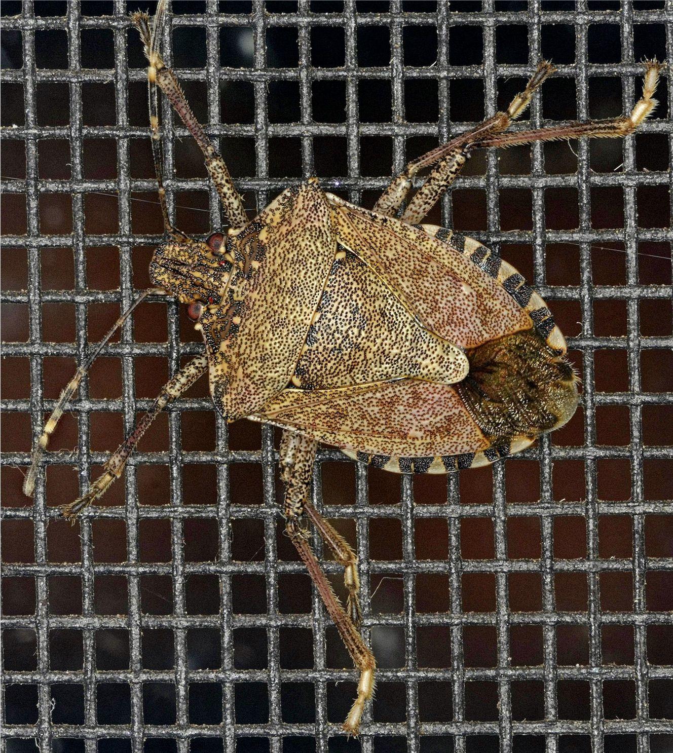 brown marmorated stink bug (Halyomorpha halys) Brown