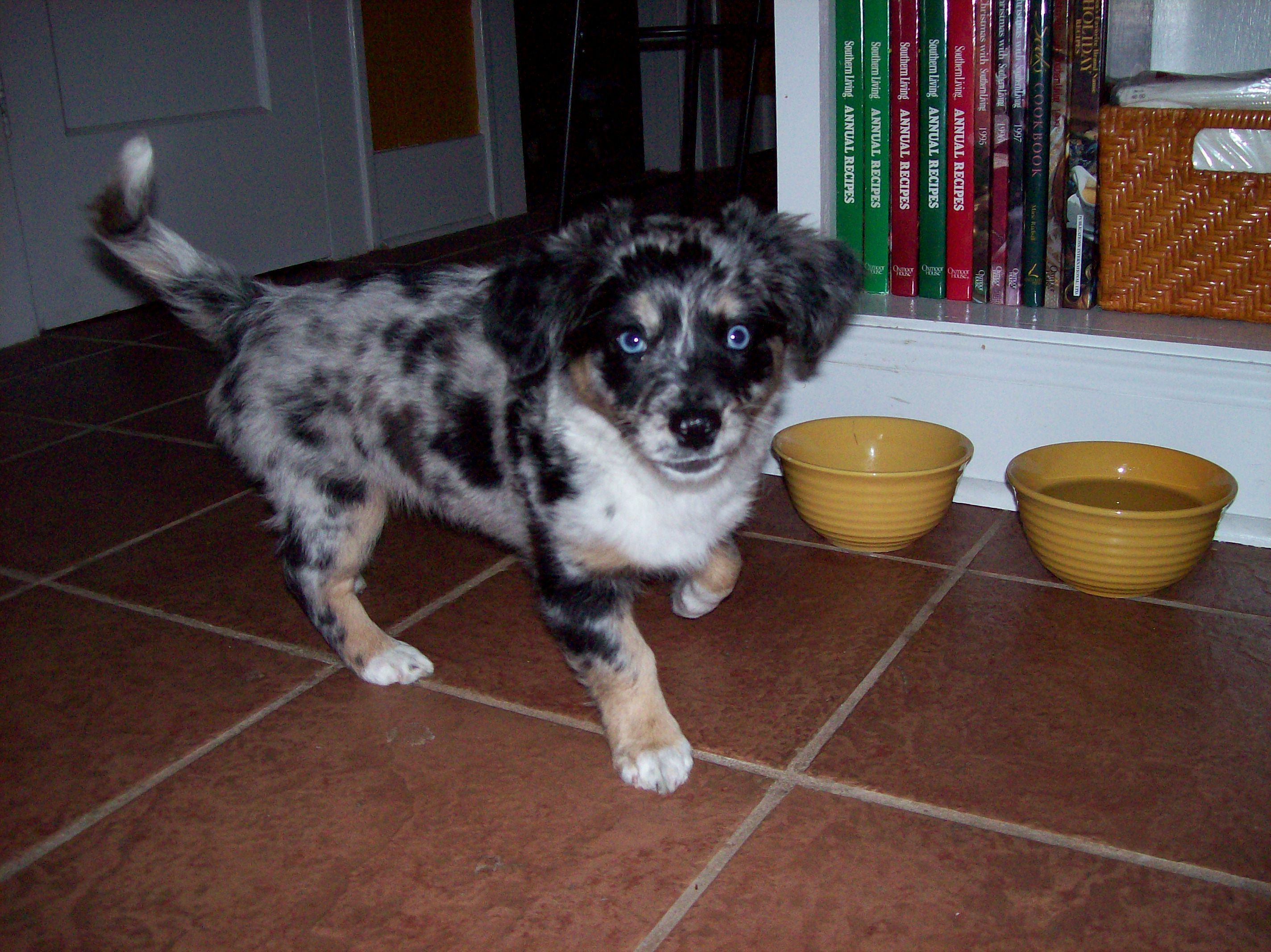 My Aussiehuahua Boudreaux With Images Chihuahua Mix Animals