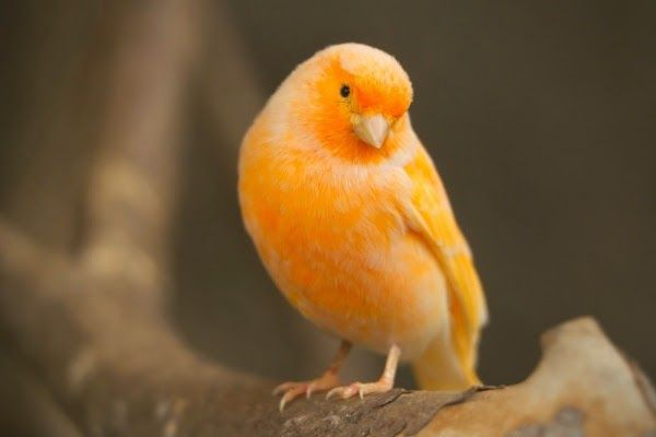 Burung Kenari Burung Cantik Burung Kenari