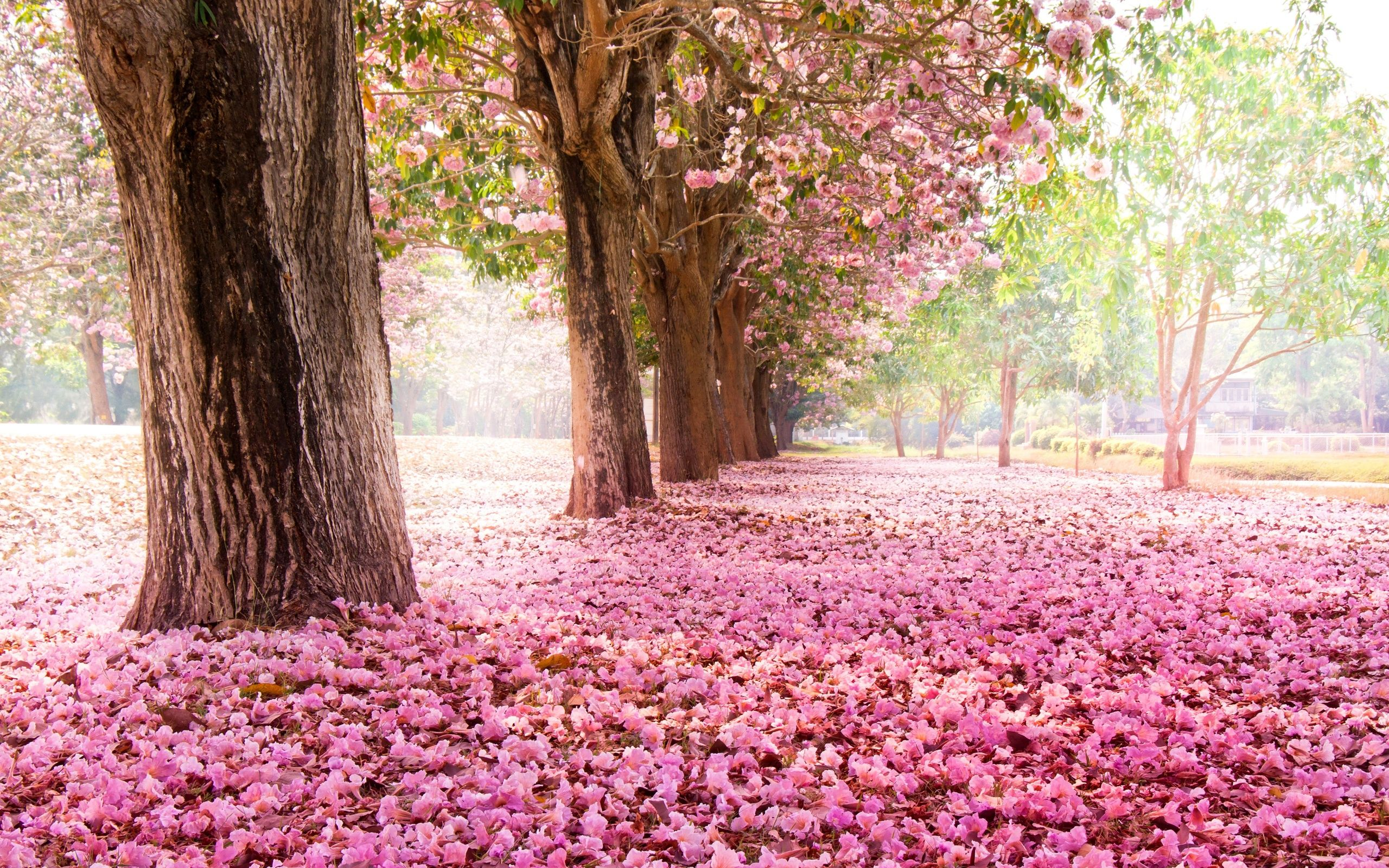 Trees Road Many Pink Flowers On The Ground Wallpaper 2560x1600