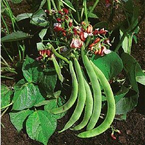 Dwarf Runner Bean Hestia 40 Seeds Runner Beans Beans 640 x 480