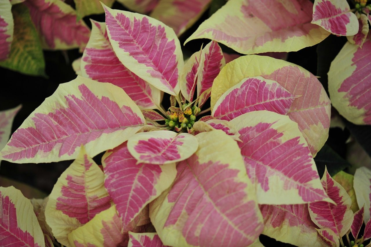 Holidays Plants Poinsettias Plants Plant Leaves Holiday