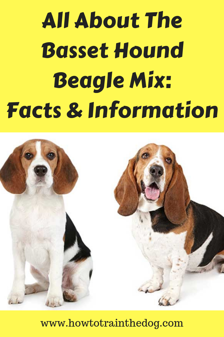 All About The Basset Hound Beagle Mix Facts Information How To Train Your Dog Basset Hound Beagle Basset Hound Mix Basset Hound
