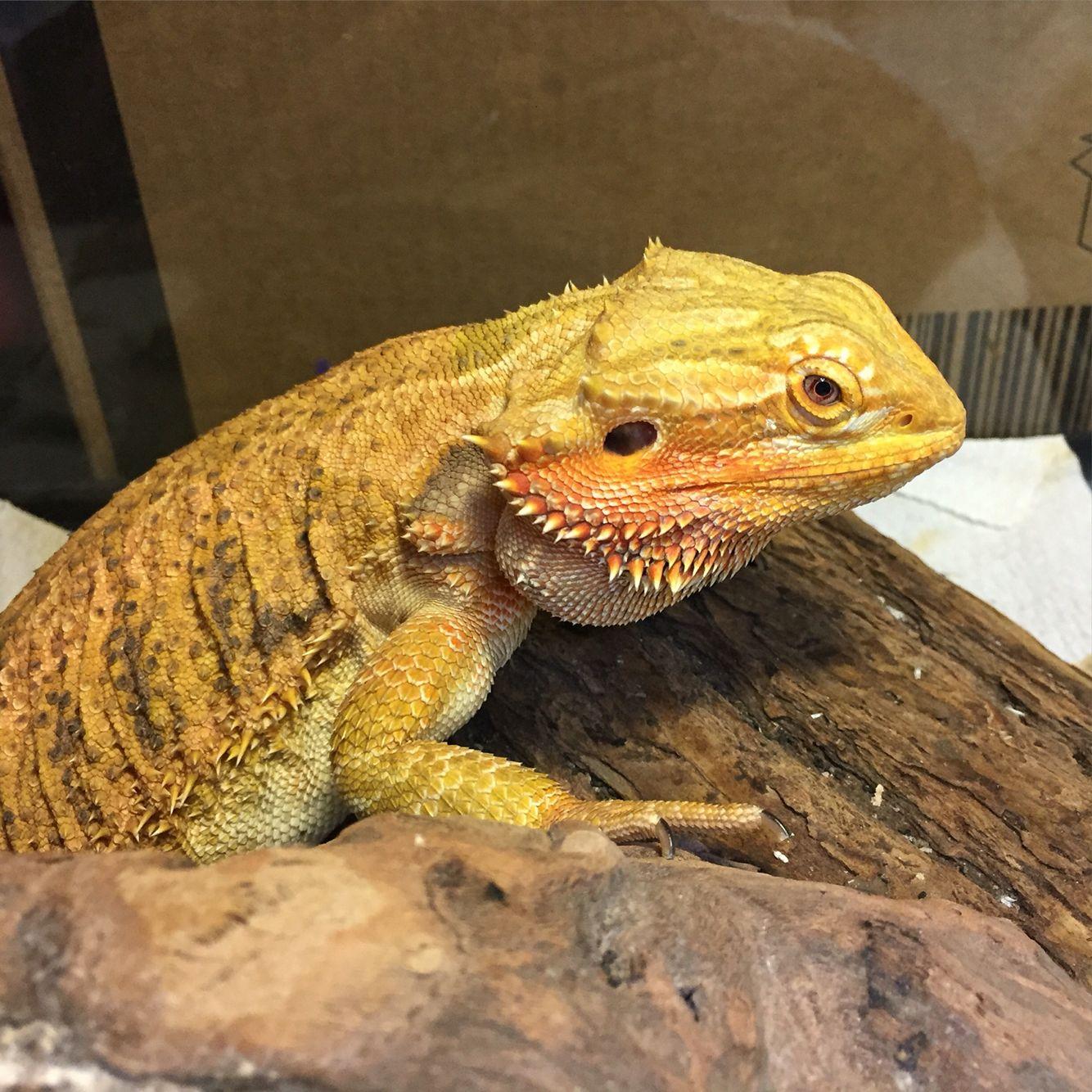 Sarabi, citrus bearded dragon