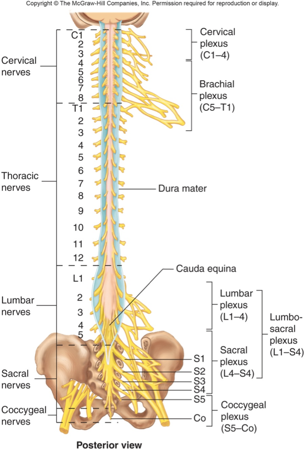 Medical Chart Female Spine Charts And Female Nervous System Charts