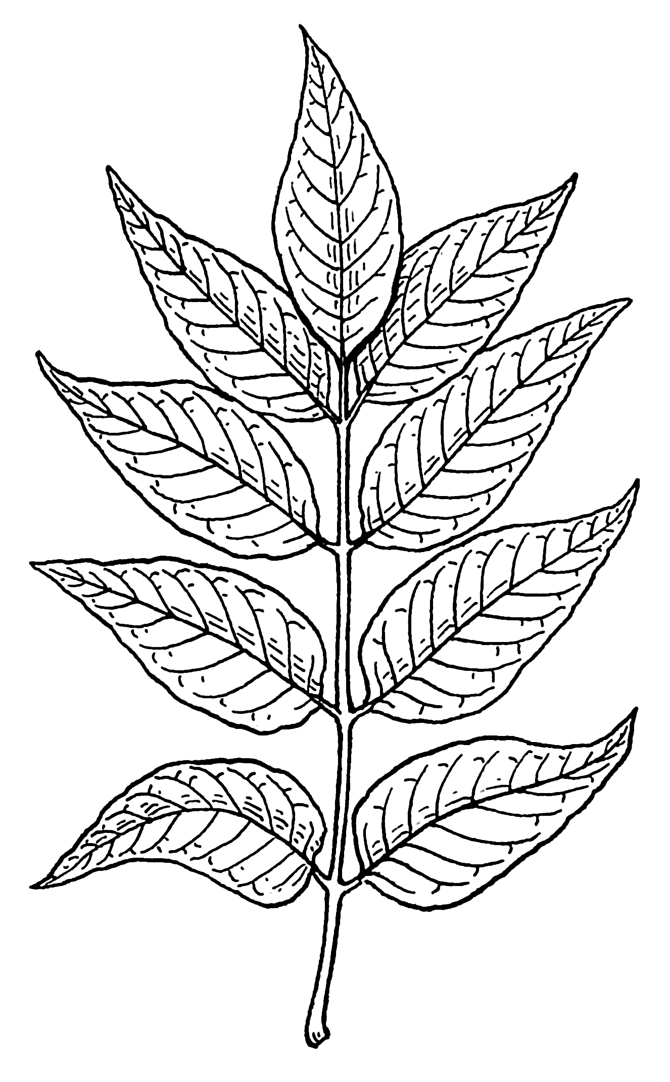 Flower Leaf Line Drawing : Drawings of leaves sketches description ash psf