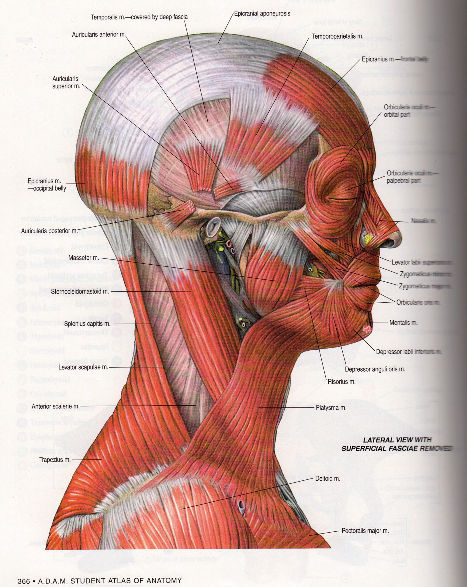 Notice how the central radius of the muscles is the TMJ | TMJ and ...