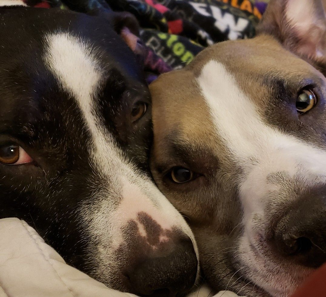 Taking Lazy Sunday To A New Level Mustlovedogs Pibbles