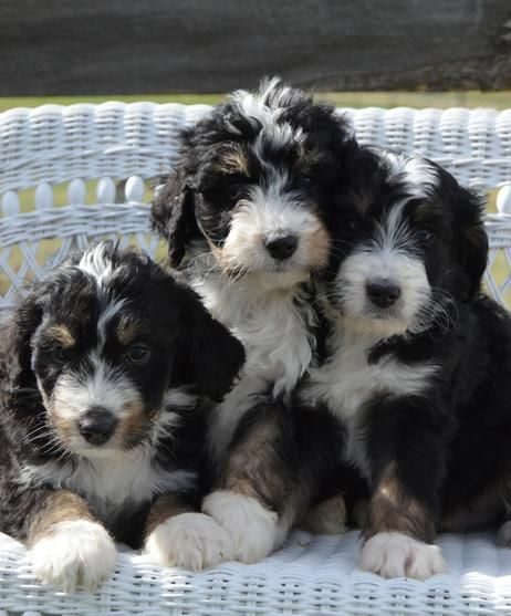 We Are Breeders Of Doodle Puppies Available Now With Champion Bloodline From Akc Registered Quality Low S Low Shedding Dog Breeds Bernedoodle Puppy Bernedoodle