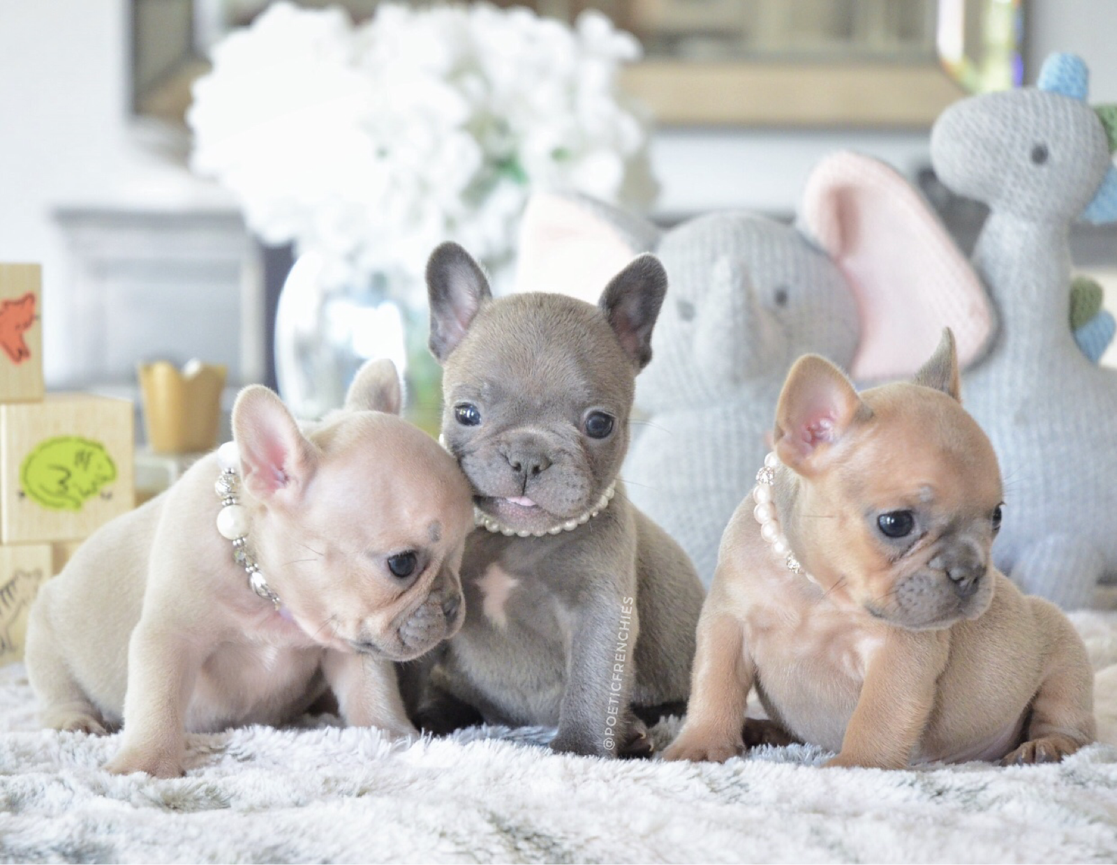 3 Tiny Girls They Are Available To Loving Homes Www Poeticfrenchbulldogs Com Frenchbulldog Poetic Puppy Time French Bulldog Puppies Cute Animals