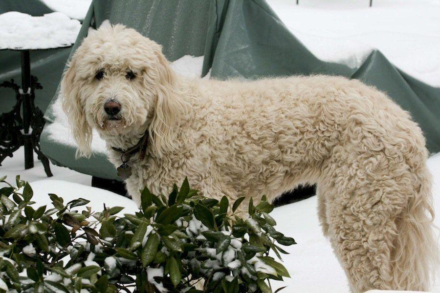 Airedoodle Designer Dog Poodle Cross Breeds Poodle Mix Dogs