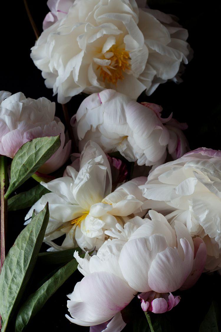 Peonies on dark background floral pinterest fleur pivoines et