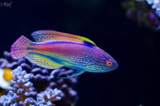 Lineatus Fairy Wrasse Super Male Thumbnail Fish Wrasse Marine Fish