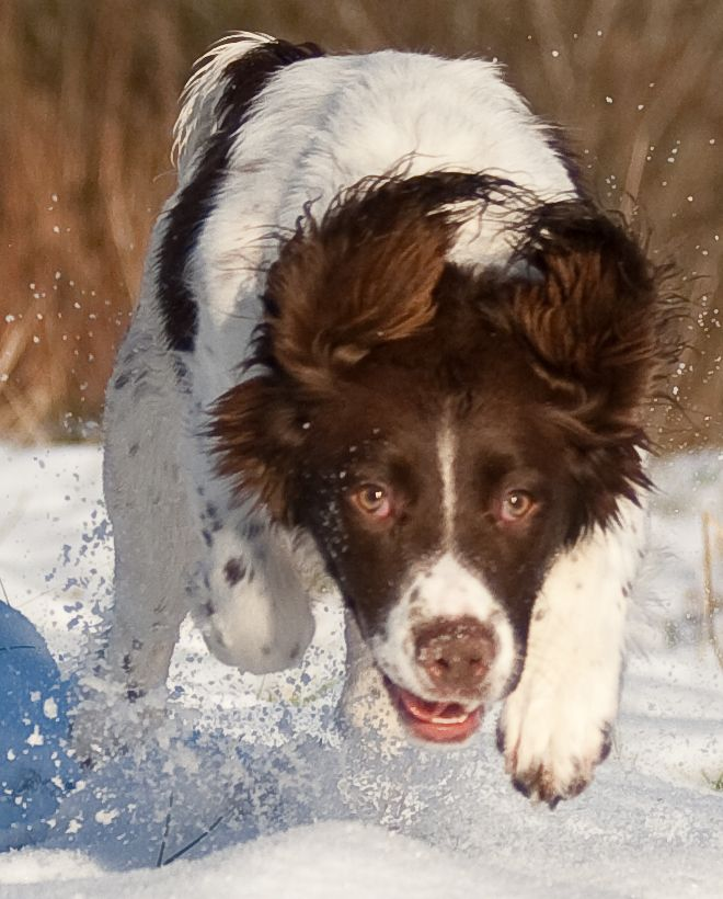 Seren the Springer Spaniel puppy. Canine & Co Home