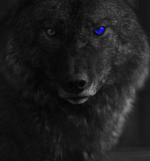 Black Wolf With Blue Eyes Wallpaper | imgbucket.com - bucket list ...
