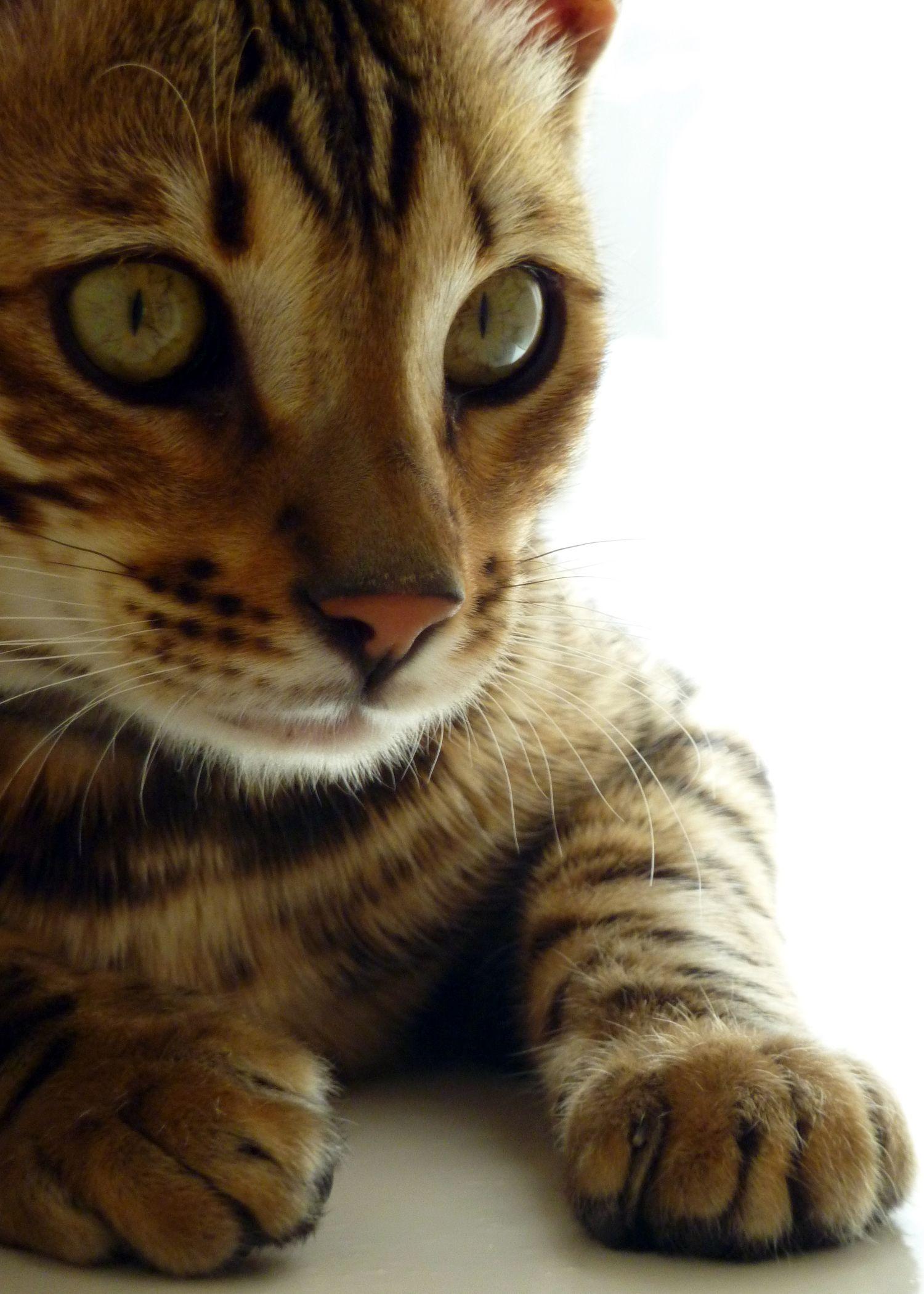 My Bengal Kitten Meatball At 6 Months Bengal Kitten Bengal Cat Tabby Cat