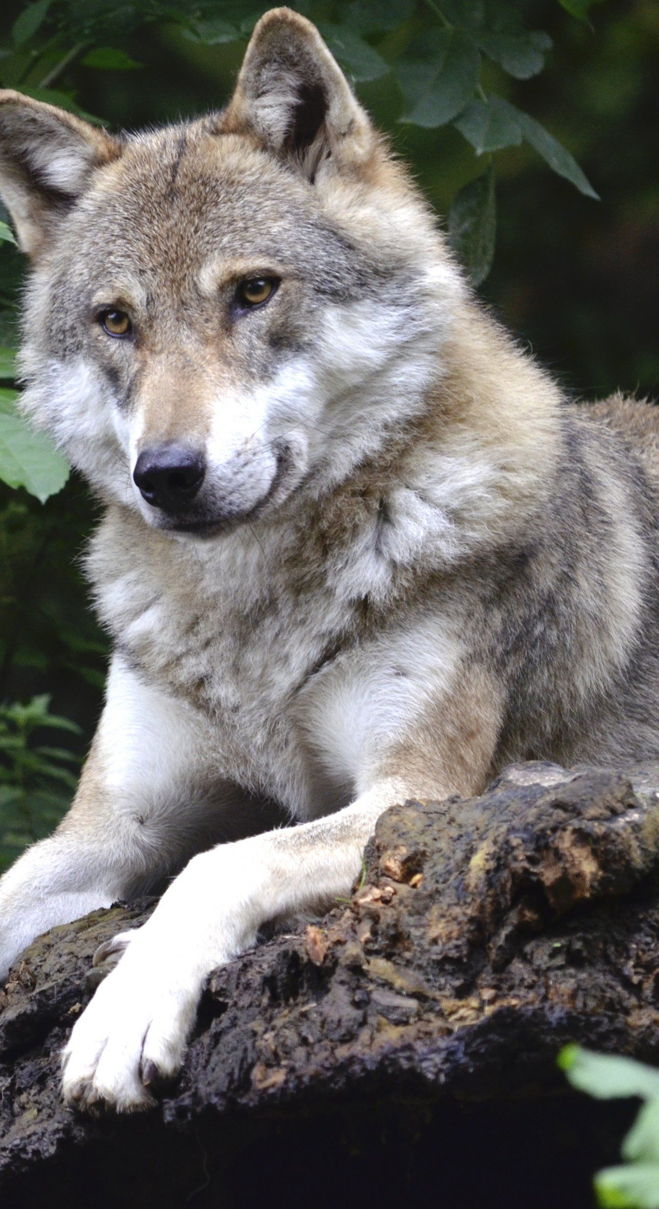 Wolf Concerns Forest Predator Canine Isegrim Pack Animal 狼犬