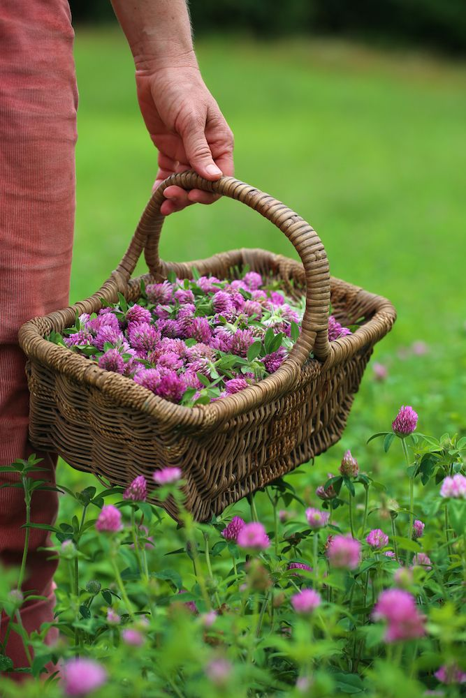 9 Tips For Planning The Herb Garden Of Your Dreams   Harvesting Red Clover
