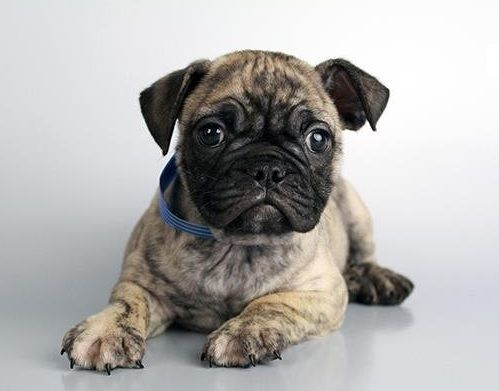 Pug French Bulldog Frugg French Bulldog Pug Mix Pug Mixed