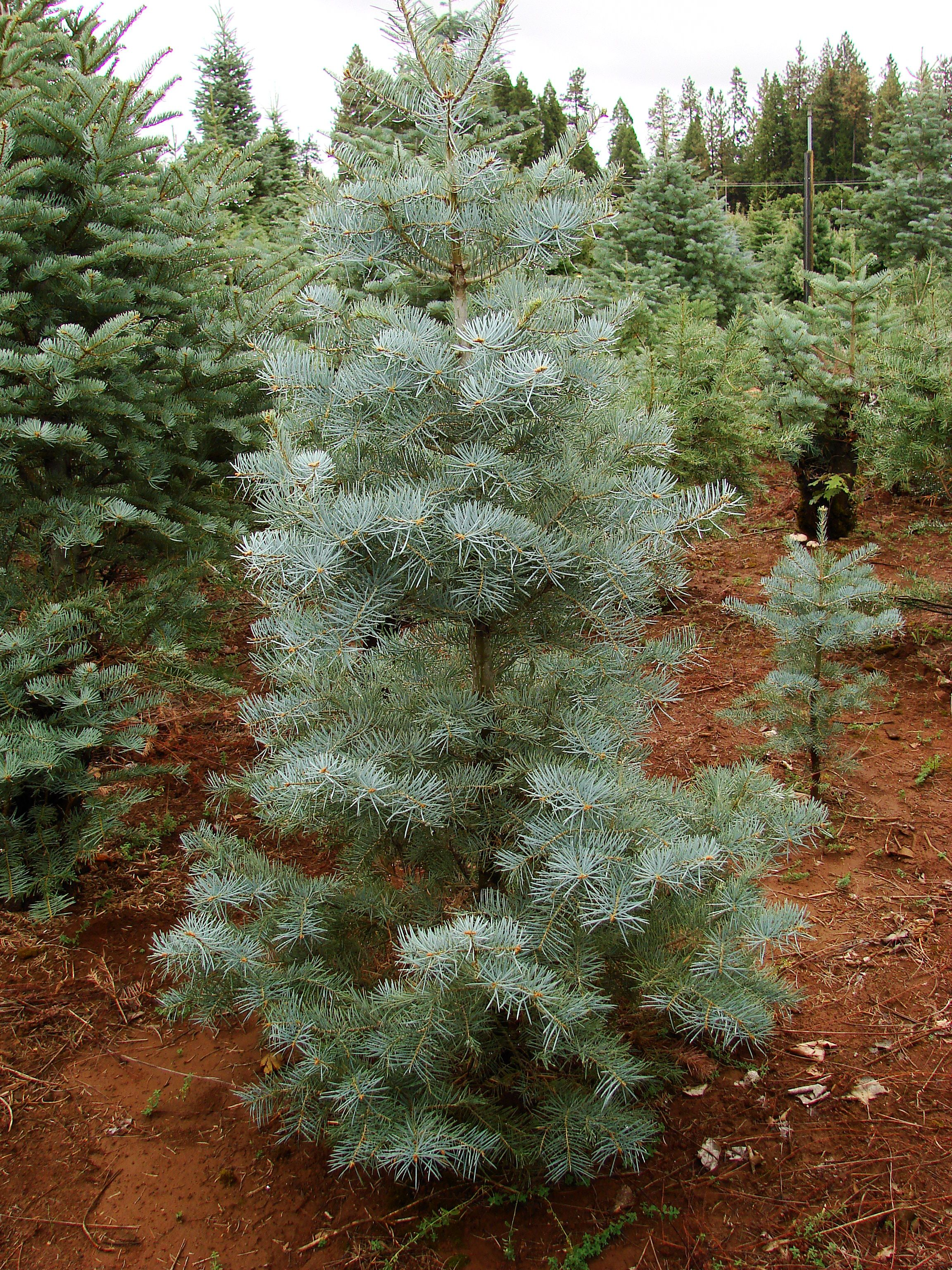 stop by one of our christmas tree farms in apple hill this shot is from mcgees christmas tree farm eldoradocounty