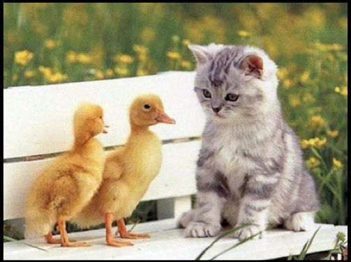 duckies and a kitten:3