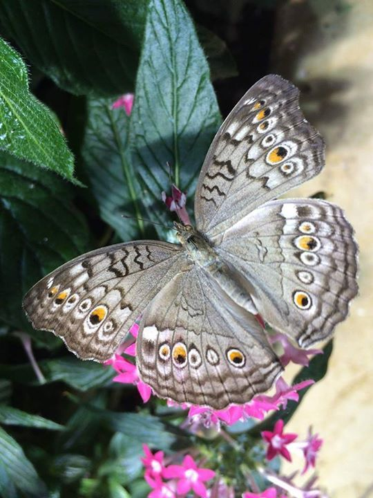 Grey Pansy butterfly ( Junonia  Atlites )