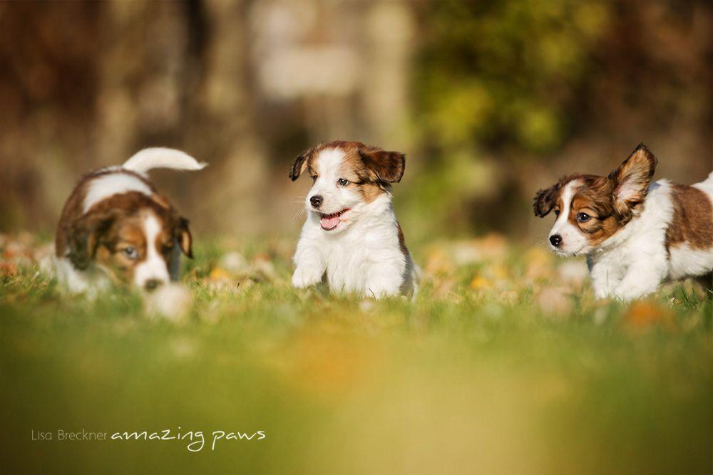 Aktuelles Mystery Garden 1 Osterreichische Kooikerhondje Zucht Niedliche Hunde Hunde Welpen Welpen