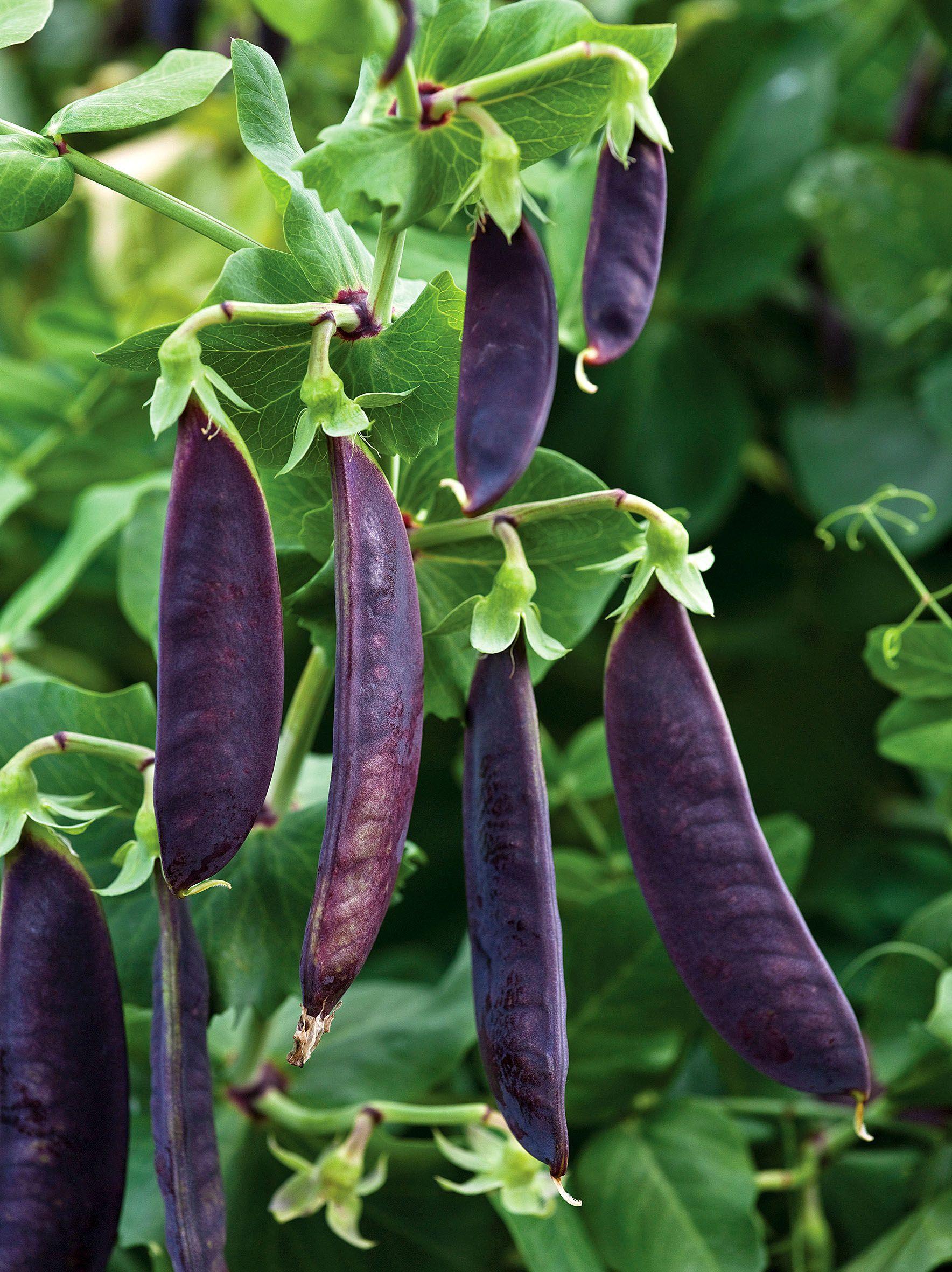 Shiraz Mangetout Purple Pea Podded Sweet Pea Seeds Purple Beans Seeds