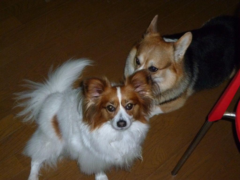 犬を多頭飼いしているけど喧嘩をする 留守番は 実際に飼っているからわかる注意点などまとめ 犬 留守番 喧嘩