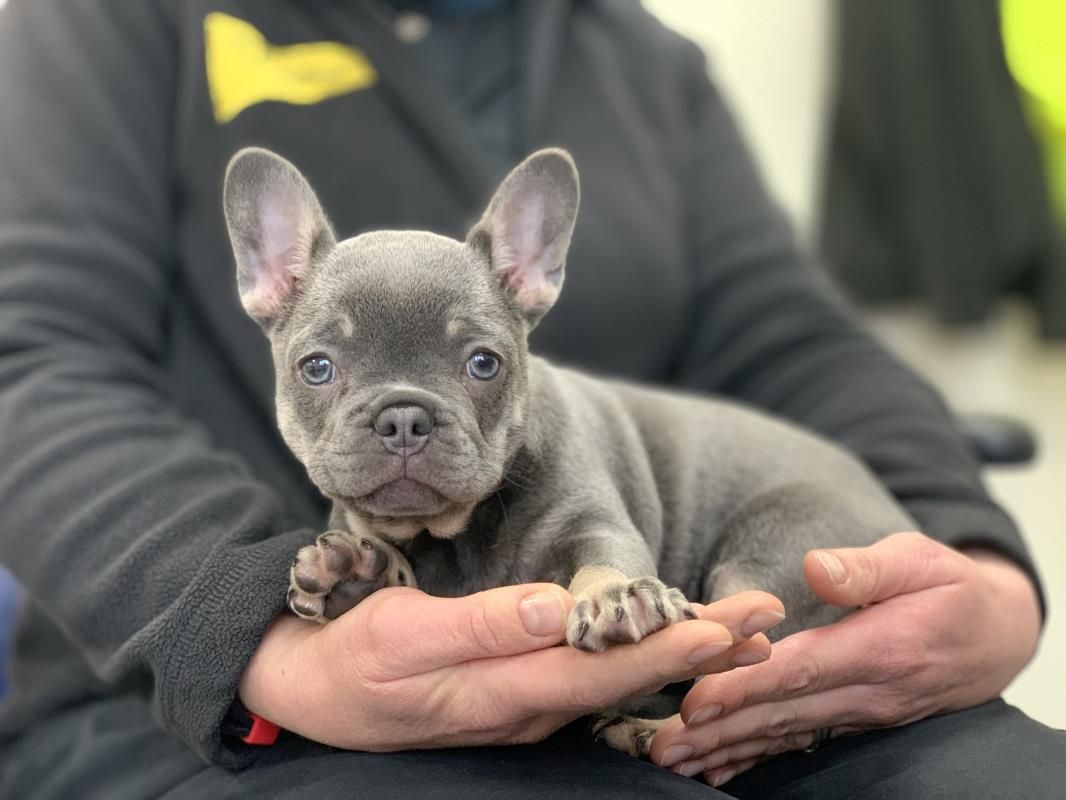 Rescue Dog Bulldog French Roxy Dogs Trust In 2020 French Bulldog Rescue Cute Cats And Dogs Dog School