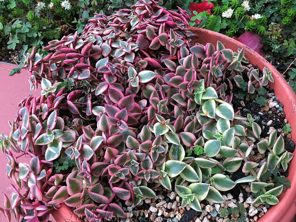 Crassula Pellucida Subsp Marginalis Variegata Calico Kitten World Of Succulents Succulents Planting Succulents Cacti And Succulents