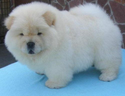 Found This Cream Chow Pic Soooo Looks Like My Little Smilla