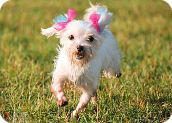 Chicago Il Maltese Meet Shakira A Dog For Adoption Dog Adoption Kitten Adoption Pets