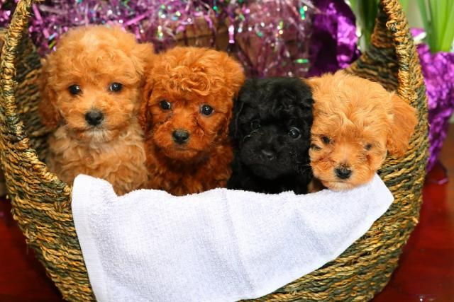 Cavapoo Puppy For Sale Cavapoo Puppies For Sale Puppies For