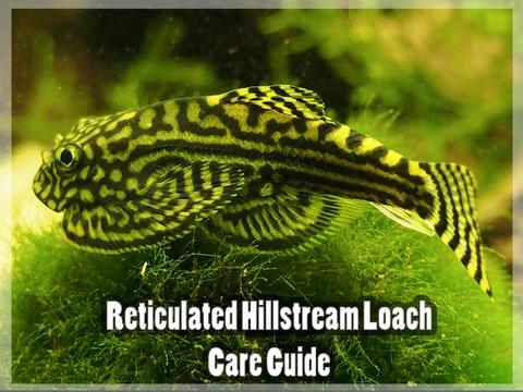 Reticulated Hillstream Loach Care Guide In 2020 Aquatic Arts Community Tanks Planted Aquarium