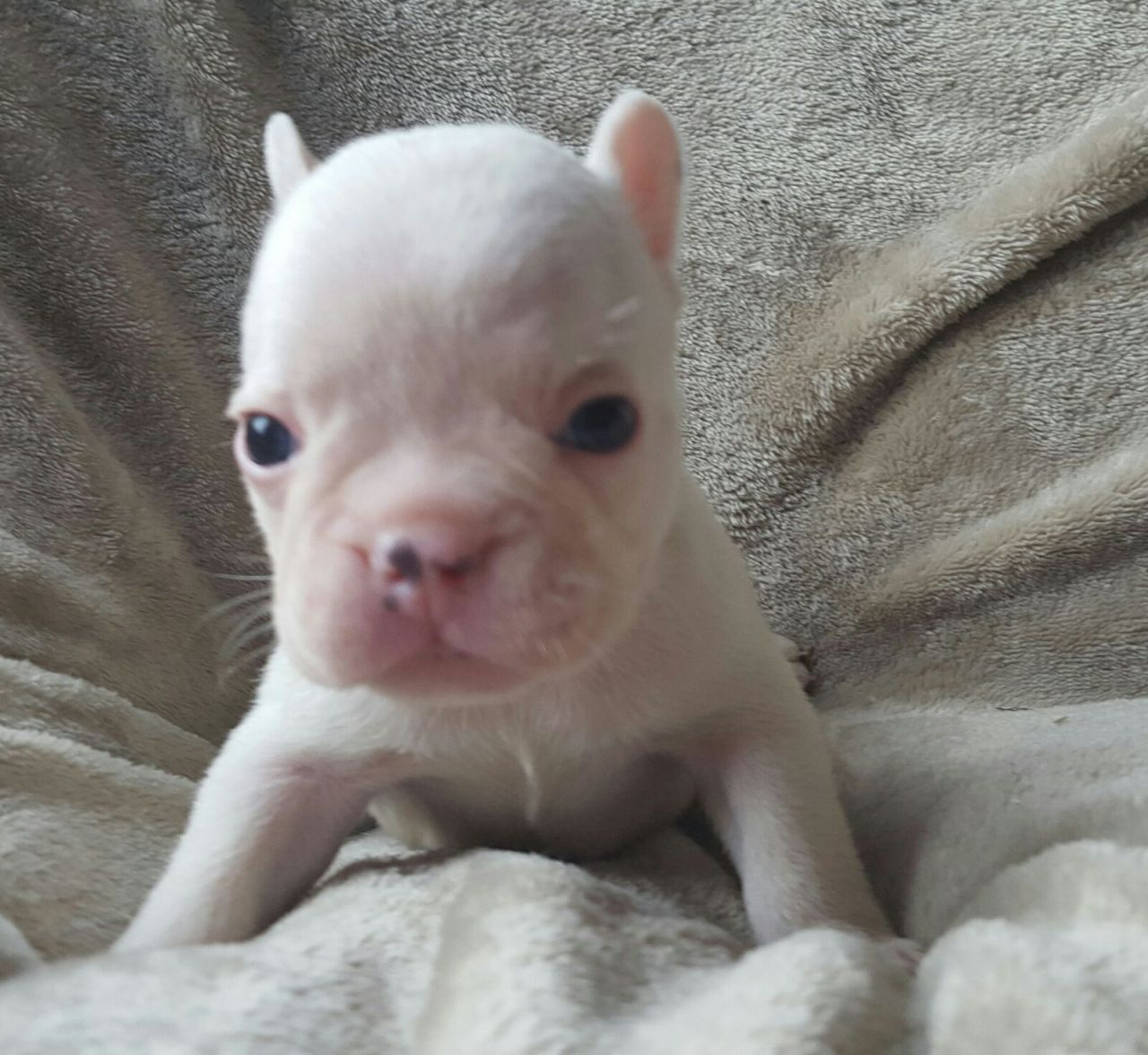 Ready Now Kc Reg French Bulldogs French Bulldog Puppies