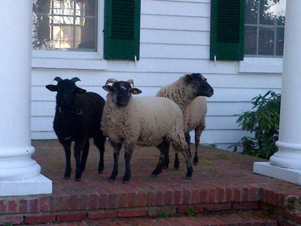 hog island sheep a heritage breed farm buildings and heritage