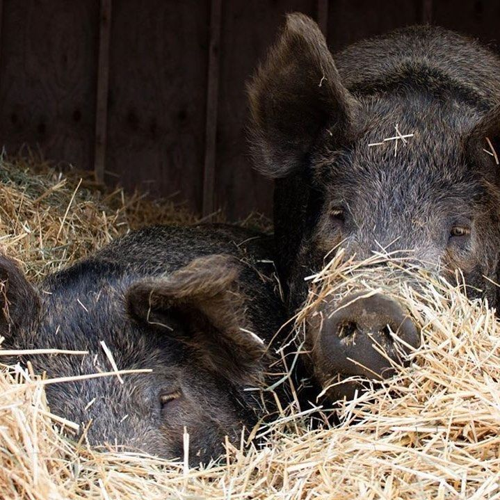 Pin by Gail.. on country life..... in 2020 Pig