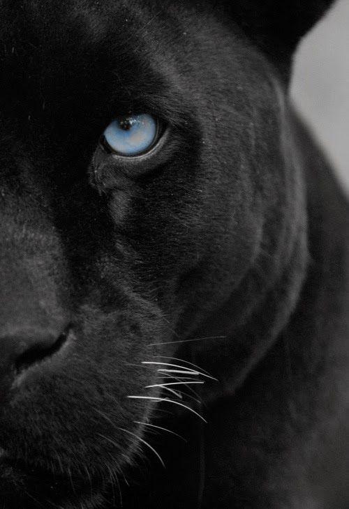 Piercing Blue Eyed Pather Animals Big Cats Animals Wild