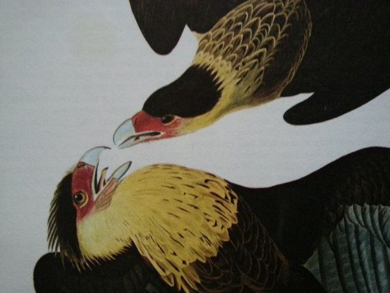 vintage drawing of Caracaras . vintage book page of by GTDesigns