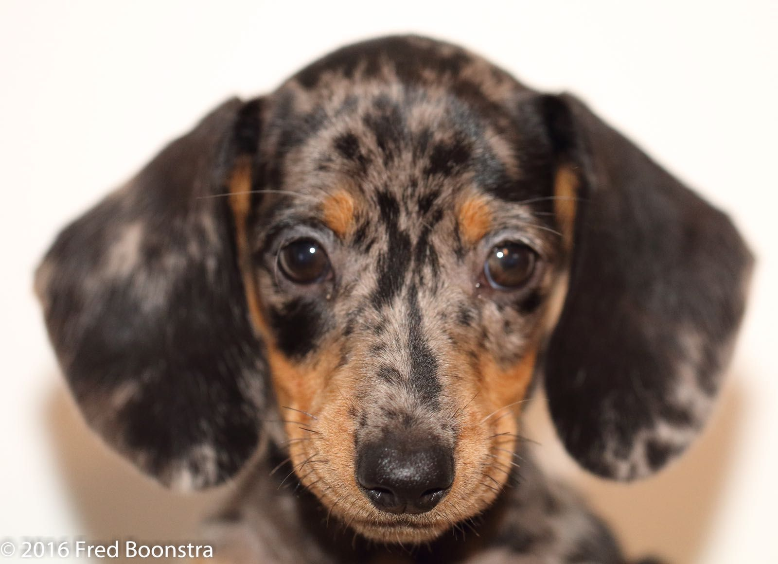 Jetje Animal Kingdom Dachshund Dogs Animals