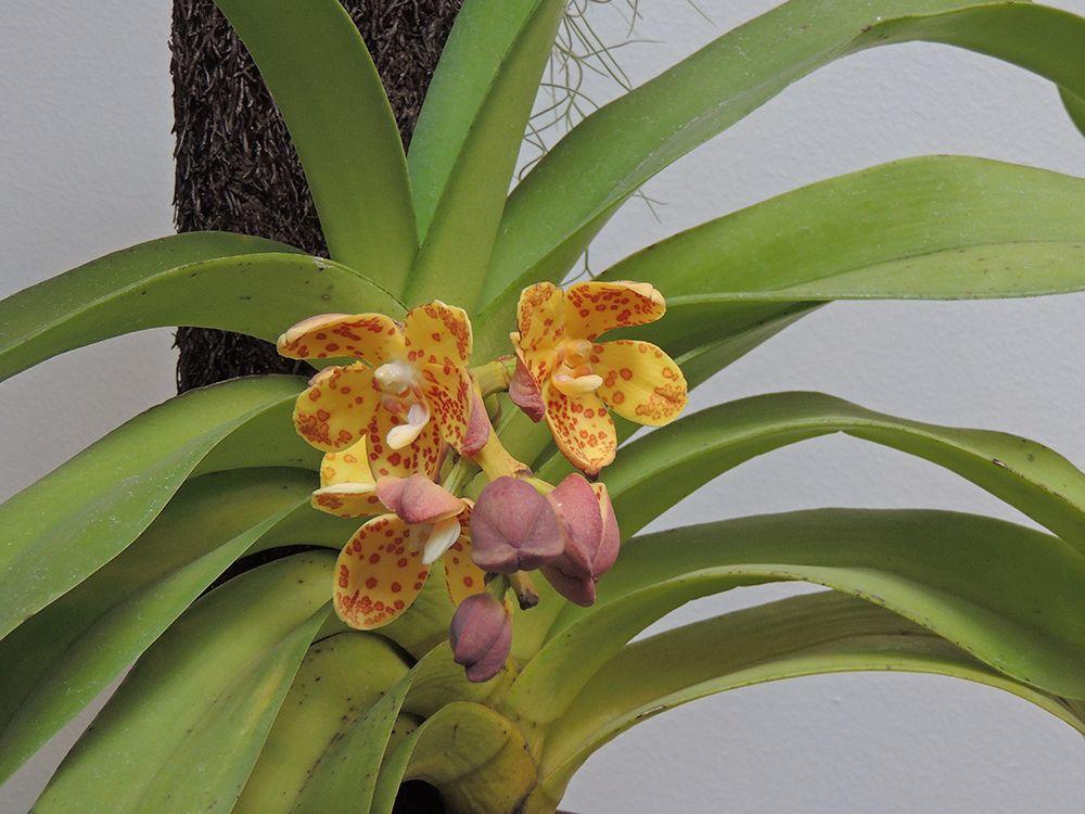 Rhynchostylis gigantea Información sobre orquídeas en http://www.elhogarnatural.com/orquidaceas.htm