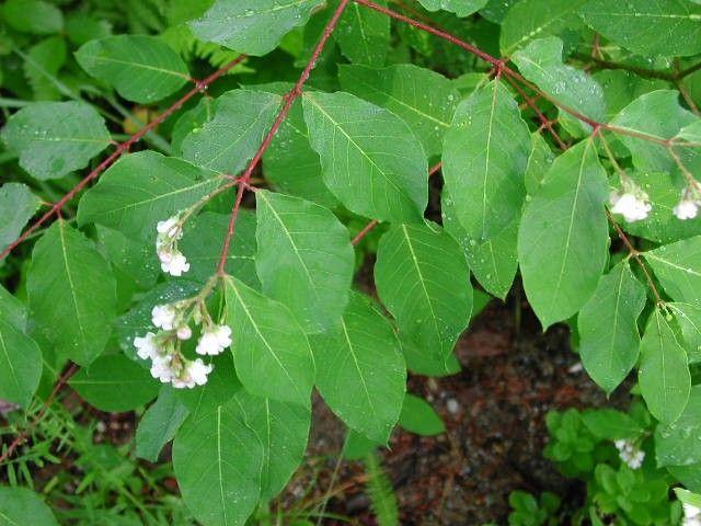 Apocynum Androsaemifolium Spreading Dogbane Poisonous Poison