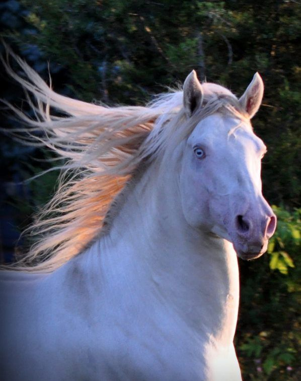 Jericho S White Knight Smokey Cream Dun Morgan Stallion He Is Truly The Horse Of A Different Color He Is Color Dna Verif Horses Beautiful Horses Morgan Horse