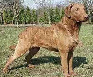 Chesapeake Bay Retriever Breeders Breed Clubs And Care