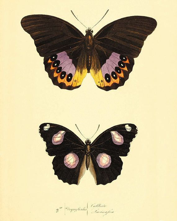 Butterfly art print poster antique prints Nature print Natural ...