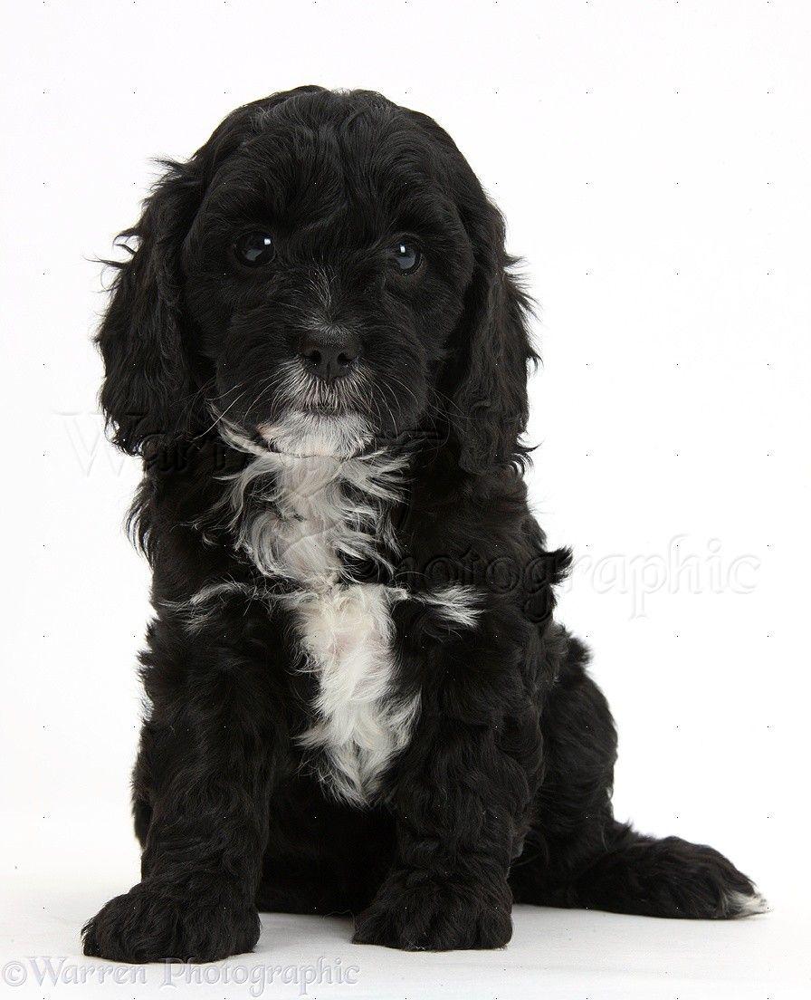 Cavapoo Black And White Google Search Cavapoo Puppies Cavapoo