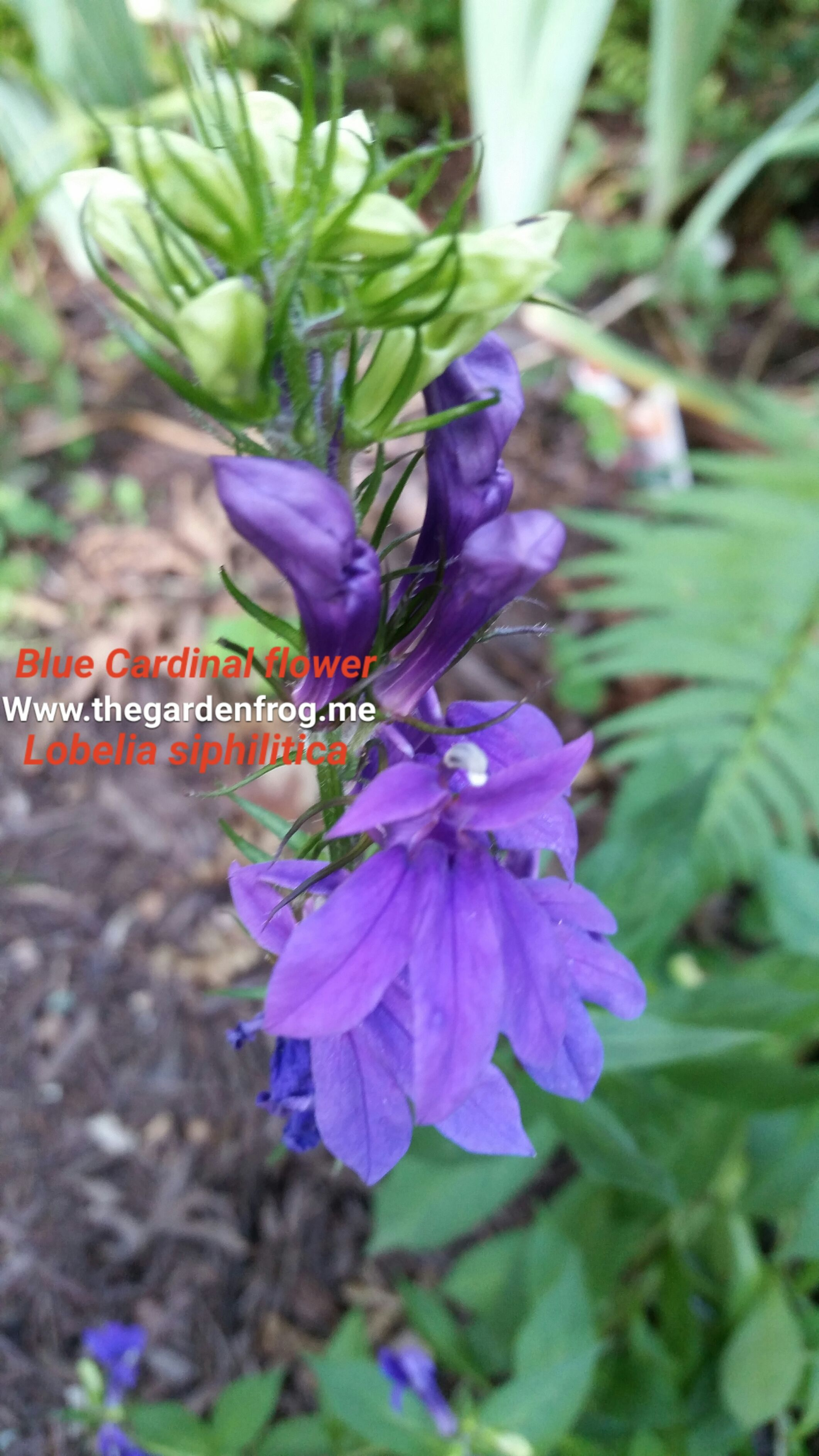 Blue Cardinal Flower Blue Lobelia Lobelia Sipilitica Great