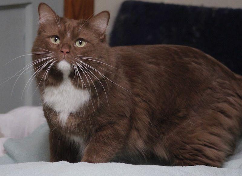 Cinnamon Ragdoll adult Cats and kittens, British